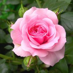 Rose (Floder) Zihal